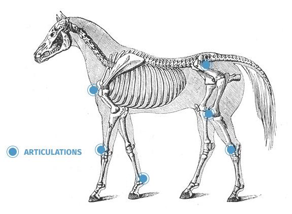 Arthrose et douleurs articulaires chez les chevaux